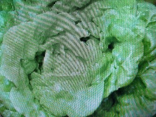 Organic Miniature Bibb Lettuce Seed CAN Plant in Garden Area Or Pot-Container