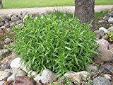 "French Tarragon Herb Plants - Non GMO - Two (2) Live Plants - Not Seeds -Each 3""-7"" - in 3.5 Inch Pots"