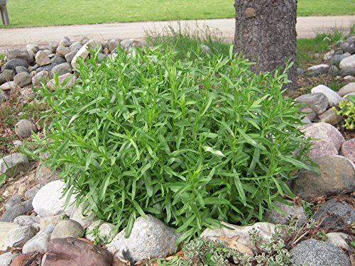 Tarragon Herb - French Tarragon Herb Plants - Non GMO - Two (2) Live Plants - Not Seeds -Each 3
