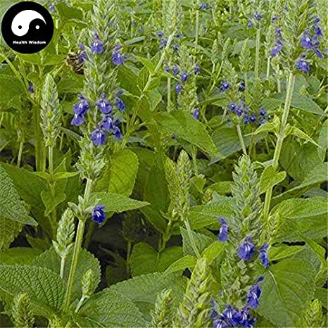Amazon.com: Buy Chia Semente 400pcs Planta China Salvia ...