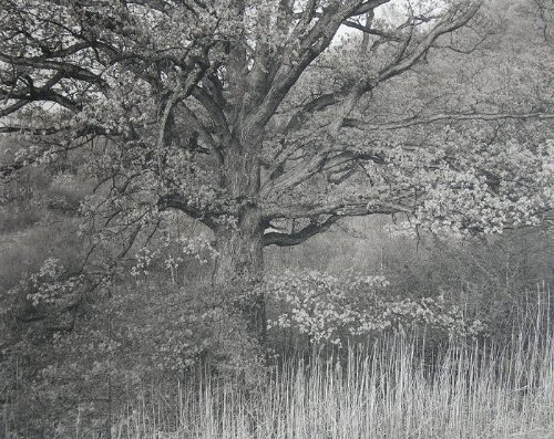 Oak Tree, Holmdel, New Jersey (Platinum/palladium Edition Size 30)