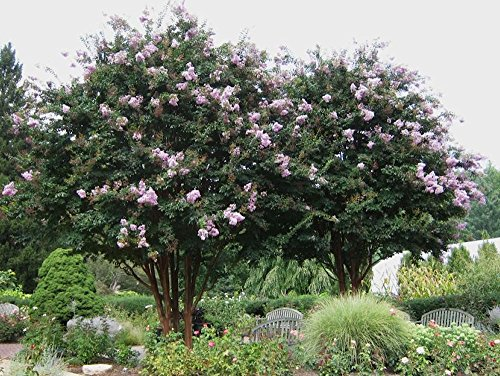 Large APALACHEE Crape Myrtle, 3-4ft Tall When Shipped, Matures 20ft, 1 Tree, Beautiful Light Lavender (Shipped Well Rooted in Pots with Soil)