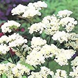 Stock White (Matthiola Incana Ten Week White)- 50 seeds