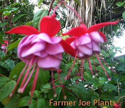 FUCHSIA - BLUE EYES - LIVE PLANT 3