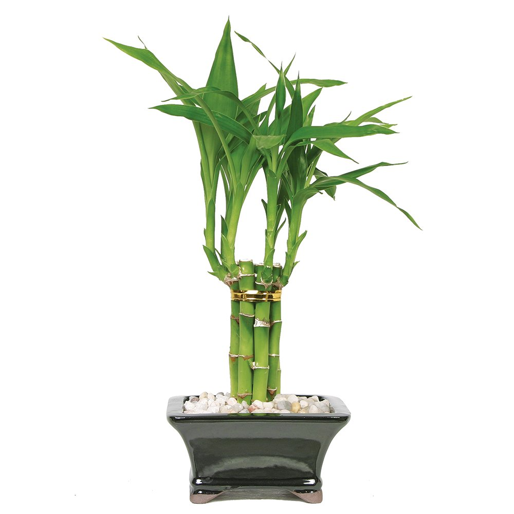 Brussel's Live Lucky Pyramid Bamboo - 1 Layer - 3 Years Old; 14'' to 16'' Tall with Decorative Container