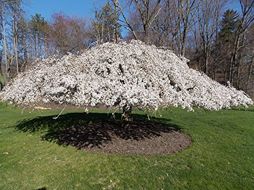 1 Bare Root of Weeping Snow Fountain Flowering Cherry by MULFI_BRDFRD