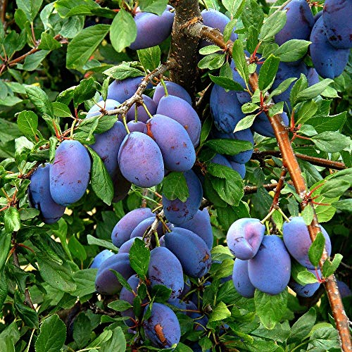 5 European Plum Tree Prunus Domestica Common Prune Plum Purple Fruit Seeds Plant A7 ()
