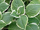 "Variegated Cuban Oregano - Plectranthus - Potted Herb - 2.5"" Pot"