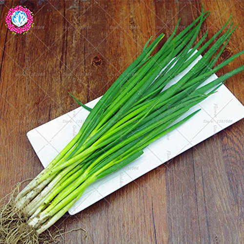 100PCS Chinese Green Onion Seeds Vegetable Seeds Home Garden Bonsai Plant Chinese Vegetable Seed