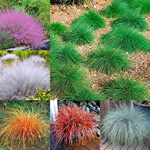 Caiuet Seeds- 100pcs Blue-Winged Ornamental Grass Seeds, Landscapes Hedgehog-Like Grass Hardy Perennial Stone Grass Ornamental Plants, Garden Plants, Farms