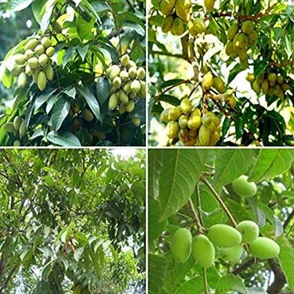 10//20pcs Semillas Arboles Olivo Semillas Olivo para Jardin Patio