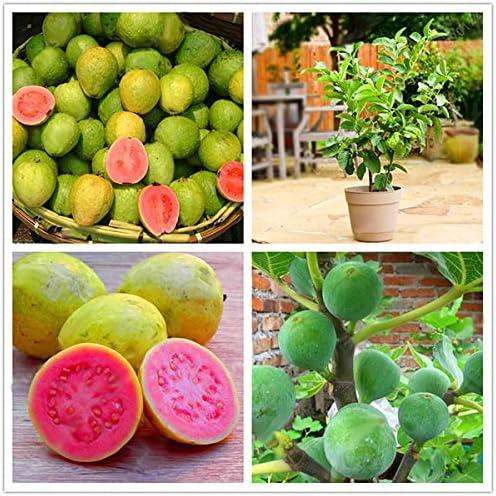 EgBert 30 Unids/Pack Semillas de Guayaba Tropical árbol de Frutas ...