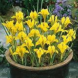 Dwarf Iris danfordiae Bulbs,Bloom Spring (10 bulbs)