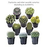 Altman Plants Assorted Live Cactus mini cacti