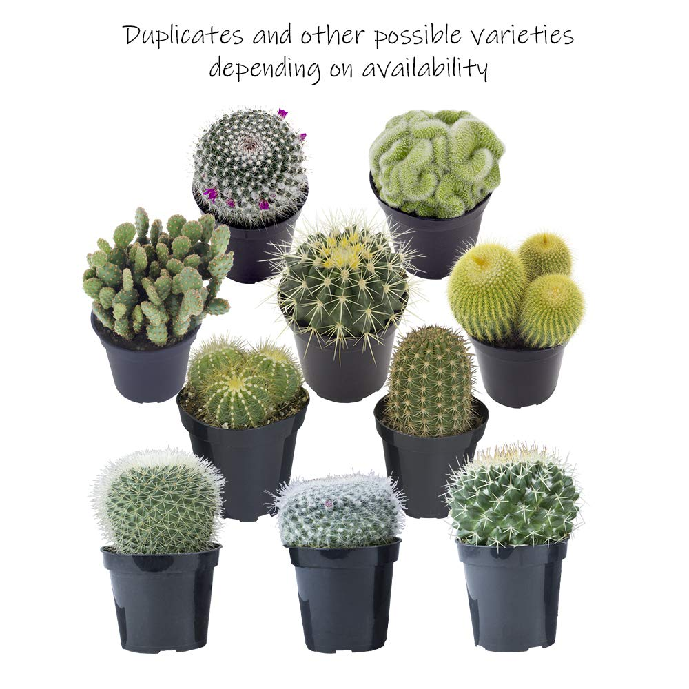 Altman Plants Assorted Live Cactus Collection large for planters or gifts, 3.5'', 6 Pack by Altman Plants (Image #6)