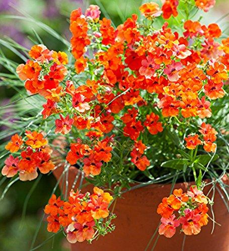 Creative Farmer Flower Seeds Nemesia Giant Mix Flower Seeds Of