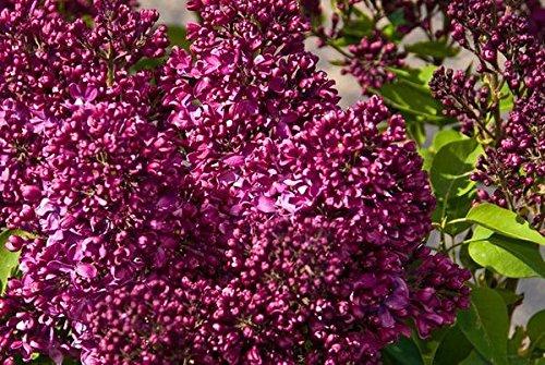 Lilac Garden Nursery - 3