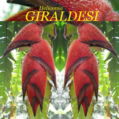 (~Heliconia GIRALDESI~ FURRY LOBSTER CLAW Collector Rare Species 10 Seeds)