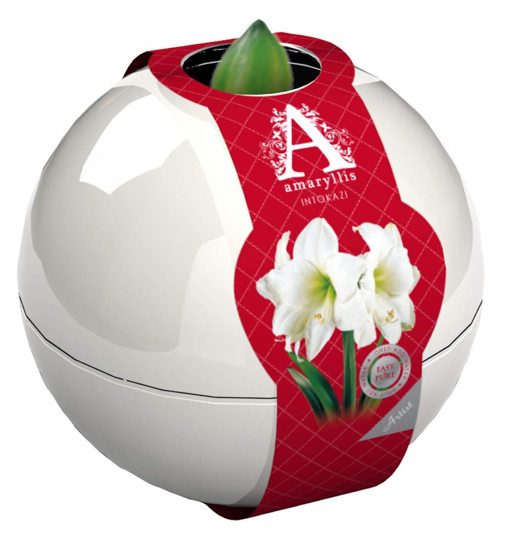 Amaryllis White Bulb Indoor Growing Kit. White Ball Gift Set: Premium 26-28 Amaryllis Bulb. 3 to 4 Beautiful Blooms Guaranteed. Sow Lush