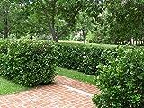 Viburnum Suspensum Qty 10 Live Plants Privacy Hedge