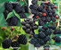 Blackberry Seed Mix 750 Seeds