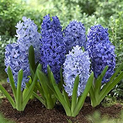 28 Large Assorted Hyacinth , Shades of Blue (One Sealed Bag) bulbs Blooms Mid Spring -->>;Deer Won't Eat <<---