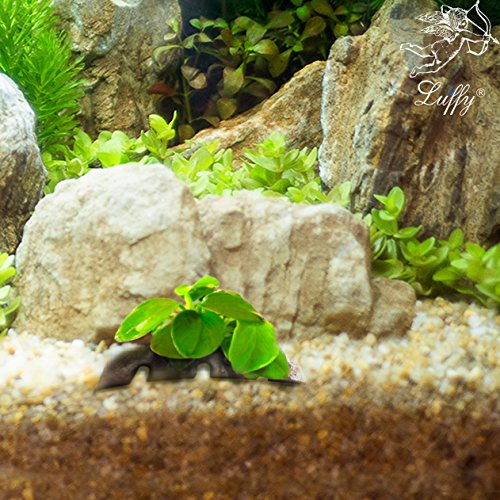 LUFFY Coco Petite Nana -Plant on coconut shell Suitable for Nano Tanks Best Placed on Rock or Wood for Beautiful Tanks