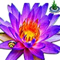 Tropical Water Lily Tuber Live Aquatic Plants For Freshwater Fish Pets Pond Balcony Decorations By Greenpro
