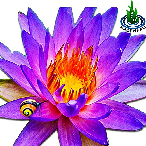(Nymphaea Alin) Tropical Water Lily Tuber Live Aquatic Plants For Freshwater Fish Pets Pond Balcony Decorations By Greenpro