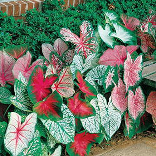 CALADIUM, BULB, FANCY MIX, PACK OF 10 (TEN), EASY TO GROW, COLORFUL MIX, ()