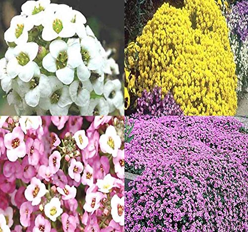 BIG PACK GROUND COVER - (Individually Packaged) Alyssum 5 Types Seed Mix - Alyssum GOLD, PURPLE, PINK, WHITE TALL, WHITE Carpet of Snow - Non-GMO Seeds by MySeeds.Co (BIG PACK - Alyssum 5 Mixes)