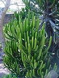 10 Seeds Euphorbia tetragona Small Tree