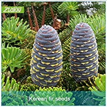 ZLKING 50pcs Fir Seed Tree Seeds Bonsai Ground Cover Perennials Evergreen Tree Seeds Outdoor Ornamental Plants For Home Garden