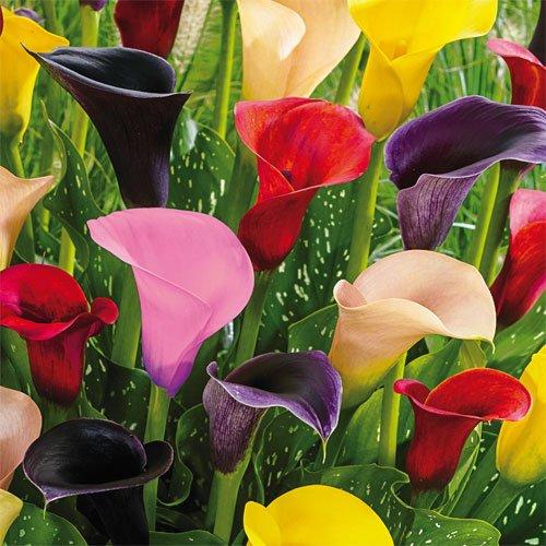 Hazzard's Bulbs & Bare Roots Hybrid Calla Lily Mixed (5 Bulbs)