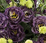 Double Roseanne Series Black Pearl Lisianthus - 10 Seeds
