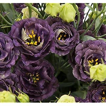Amazon 20 Lisianthus Annual Flower Seeds Mix Long Lasting