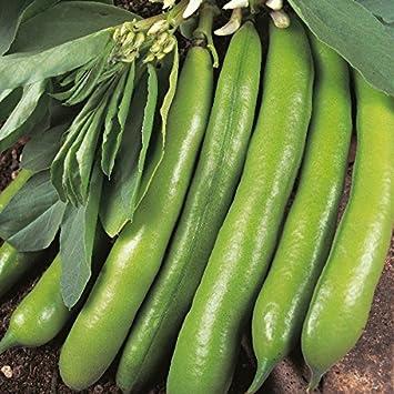 50 Seeds Broad Bean Masterpiece Green Kings Seeds