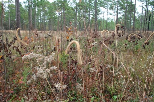 Long Leaf Pine Understory Mix (Mix 127), Seed Packet, True Native Seed (Coastal Southeast US)