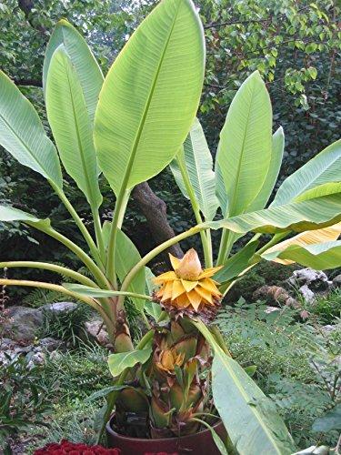 Starter Plant Truly Tiny Tiny Musa Banana Tree Great Fruit