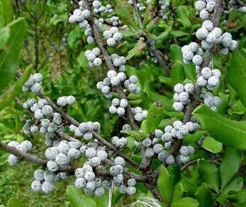 Northern Bayberry Shrub, Myrica Pensylvanica,20 Seeds, Hardy, Fragrant