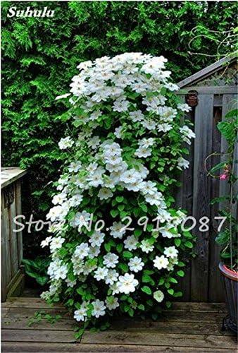 Semillas de flores raras Clematis Clematis Vines Bonsai flores perennes plantas trepadoras Clematis Plantas para jardín 100 Pcs 13: Amazon.es: Jardín