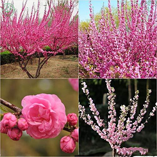 - Flower Sakura Seeds Japanese Cherry Blossoms cerasus Bonsai Garden Plant Pink