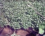 Nasturtium officinalis WATERCRESS Herb Seeds!