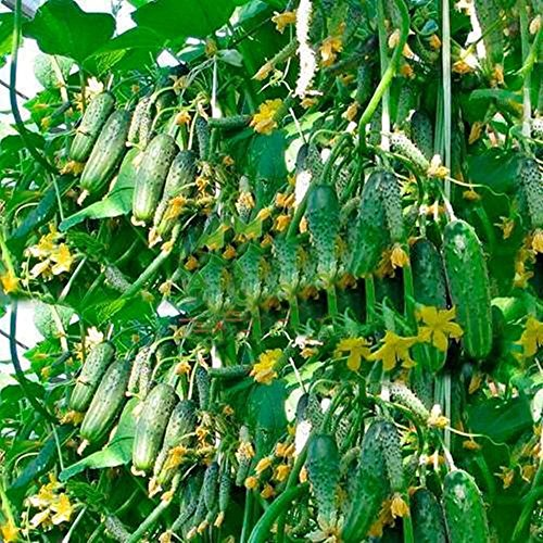 Seeds Rare Cucumber Titus F1 Early Pickling Vegetable Organic Ukraine (Best Pickling Cucumber Seeds)