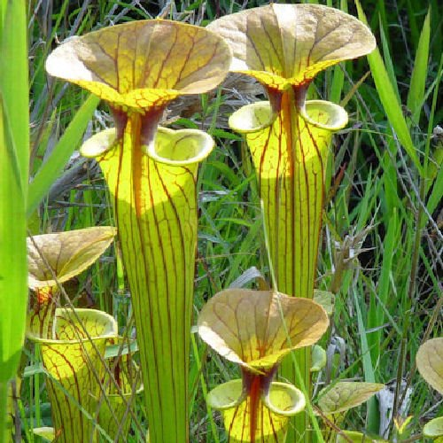 10 CARNIVOROUS YELLOW PITCHER PLANT (Yellow Trumpet) Sarracenia Flava Rugelii Flower Seeds