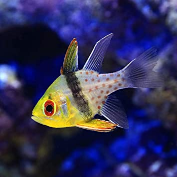魚 イシモチ