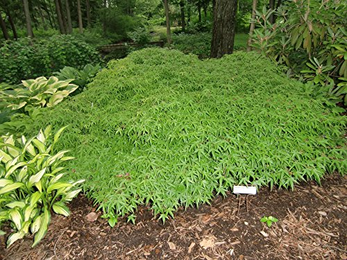 Groundcover Japanese Maple - A Dwarf Ground Hugging Japanese Maple - 1 Year Live Plant