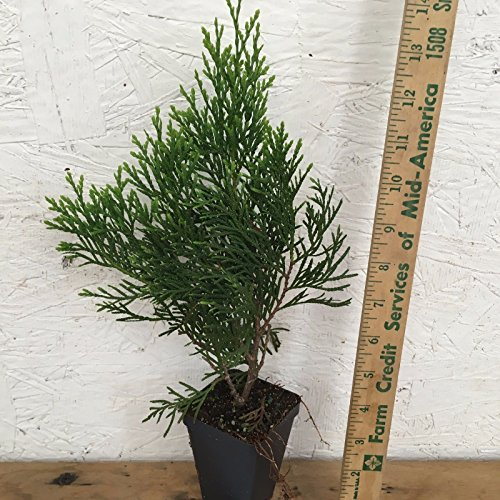 "1 EMERALD GREEN Arborvitae 3"" pot - (Thuja occidentalis)"