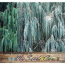 (50) Kashmir Cypress Weeping , Cupressus cashmeriana, Tree Seeds - Comb. S&H