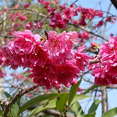 Amazon Com Leattery 10pcs Japanes Sakura Flower Cherry Tree Seed